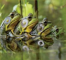 美国青蛙是不是牛蛙_青蛙9养殖容易吗_美国的青蛙怎么叫的