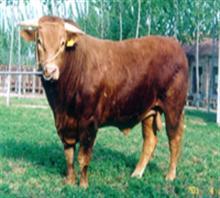 山东小牛育肥基地肉牛养殖基地