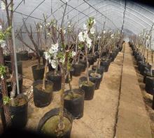 樱桃盆景,绿源金果,优质樱桃树盆景 -价格,厂家,图片,,泰安绿图片