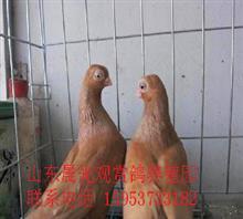 出售家养观赏鸽宠物鸽