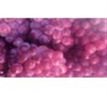 供应冷库存储巨峰葡萄