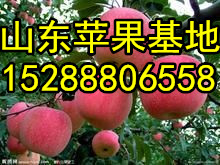 批发湖北红富士苹果