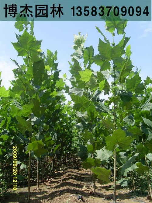 9公分法桐树 优质9公分法桐 两年冒 新式法桐