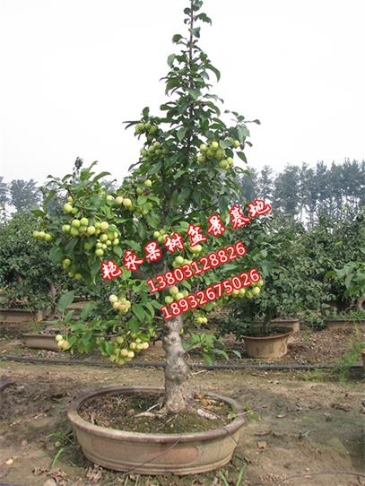 【果树盆景批发价格】价格