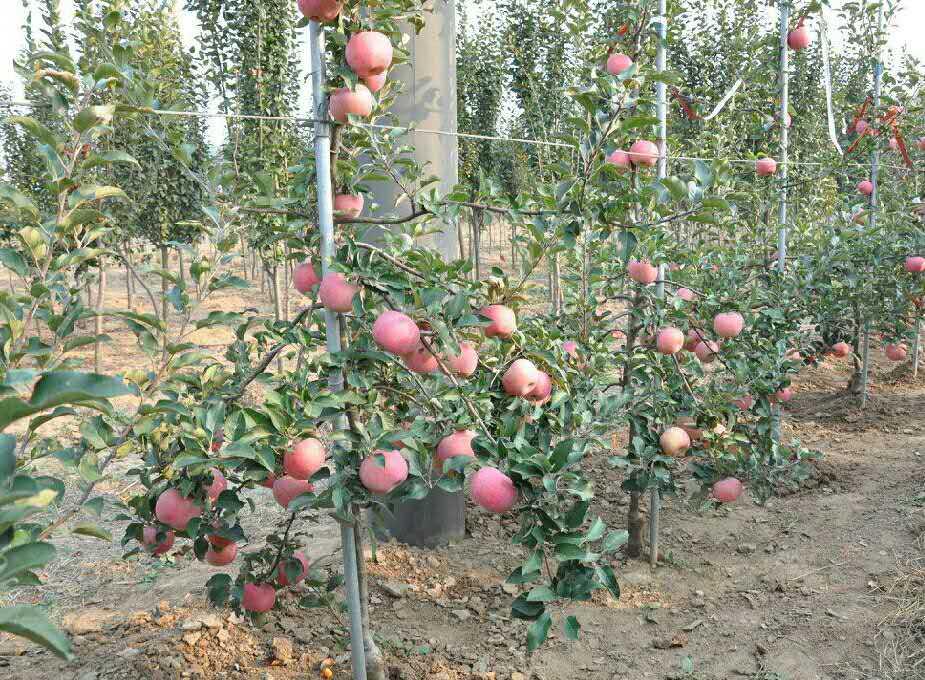 柱状苹果树这种树的外形不同于常见的果树,而是像一根细长的柱子,苹果