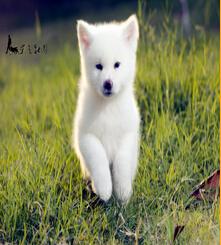 郑州秋田犬多少钱怎样让宠物狗喜欢你