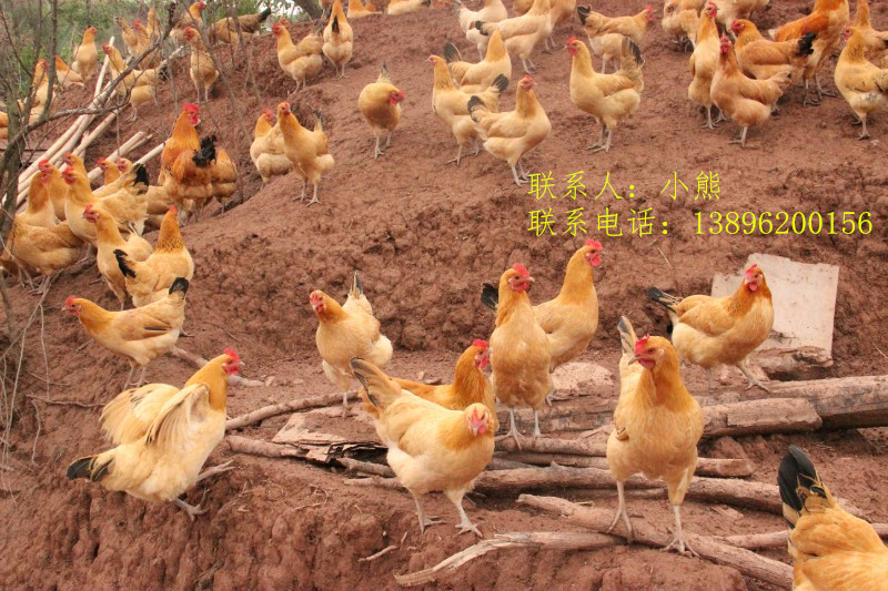 我国土鸡苗的品种较多,性能较为接近。而有些饲养者对于鸡种的选择存在盲目性,往往追求新的鸡种,价格再高也不惜引进。其实,在选择土鸡苗时主要应从以下几个方面考虑。 1.鸡种的适应性 我国饲养的蛋鸡和快大型肉鸡品种大多数是引进的国外鸡种,由于饲养条件和环境条件的差异,存在着适应性差的问题。即使是我国的地方鸡种,也因南北地区地理环境存在较大的差异,引种也存在环境适应的问题。因此,在选用鸡种时,应考虑当地的实际情况,了解一些鸡种在我国不同地区的适应性以及鸡种的性能特点,作出适宜的选择。 2.