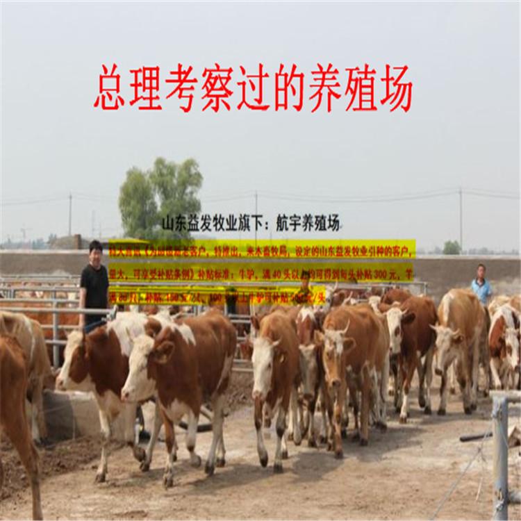 肉牛犊批发↙