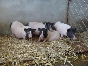 万州区白土镇哪里有养殖香猪的香猪苗