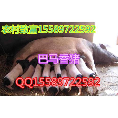 我想买小香猪巴彦县香猪养殖场好养吗