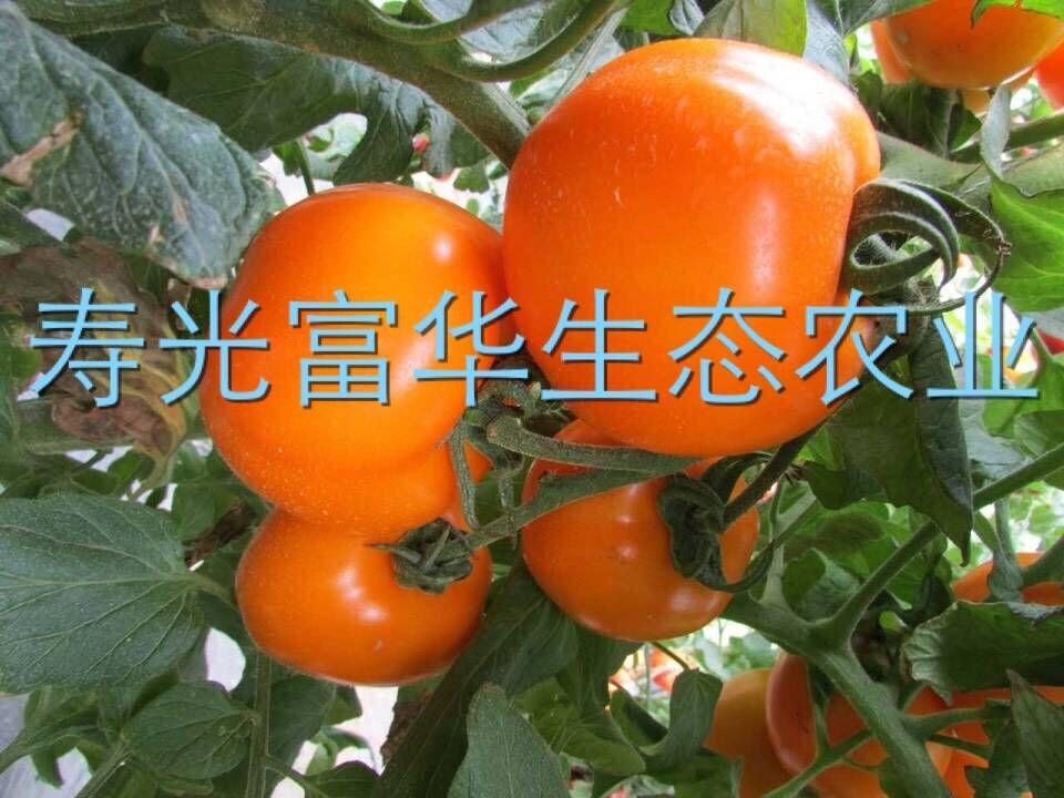 进口海泽拉番茄种子-芬迪