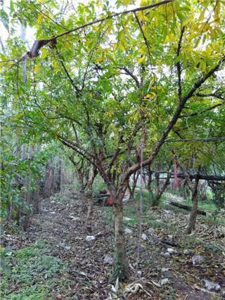 平原 石榴树苗是落叶灌木,高2~7米;小枝圆形,或略带角状,顶端 刺状