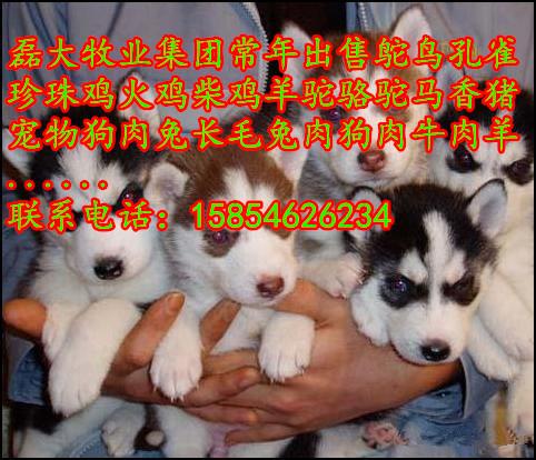 阿拉斯加犬价格哪里有卖阿拉斯加犬的