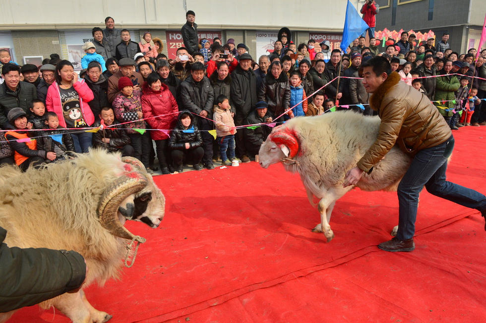 成年斗羊价格欢迎斗羊庆典大会 量大从优
