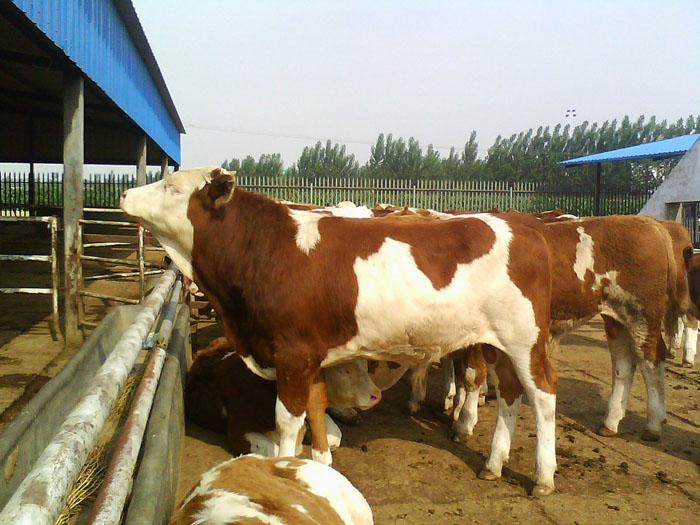 哪里有卖西门塔尔牛夏洛莱牛肉牛犊种牛的