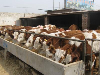 肉永州牛犊多少钱一头牛犊价格低价销售价格实惠
