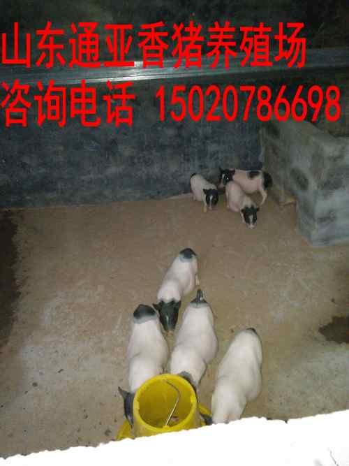 香猪养殖临沧巴马香猪、巴马香猪肉价格、