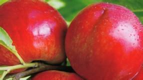 黄油桃今日报价油桃行情