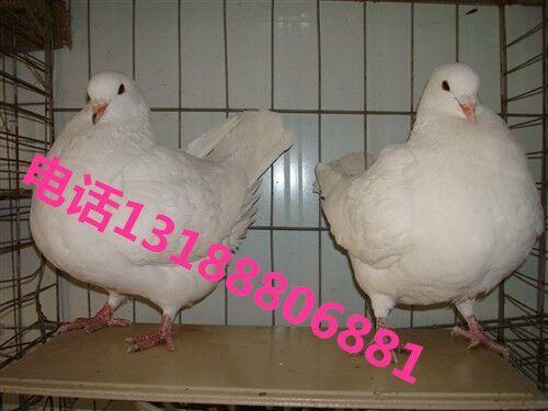 元宝鸽报价图片
