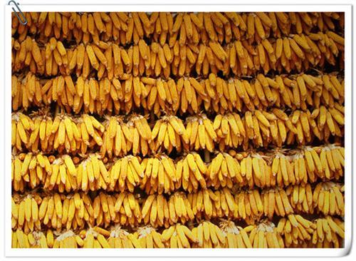 常年收购玉米、收购玉米、民发养殖(查看)
