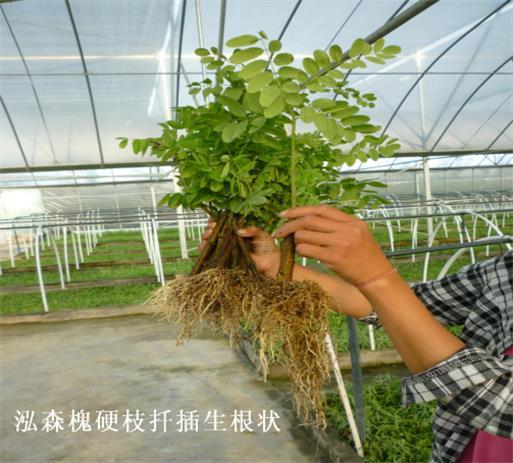 杨树的生长速度,槐木的材质