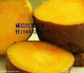 河北雄县诚信红薯批发基地脱毒红薯种植基地