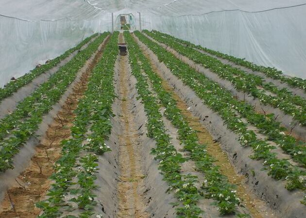 是草莓苗供应基地 草莓苗批发价格