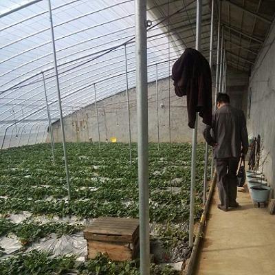 甜宝草莓苗保湿邮寄 草莓苗质优价廉