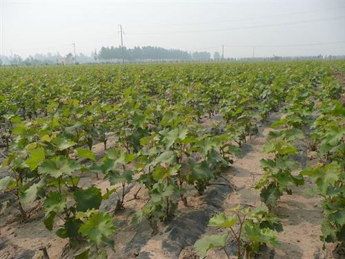 山东葡萄苗供应 葡萄苗优选品种