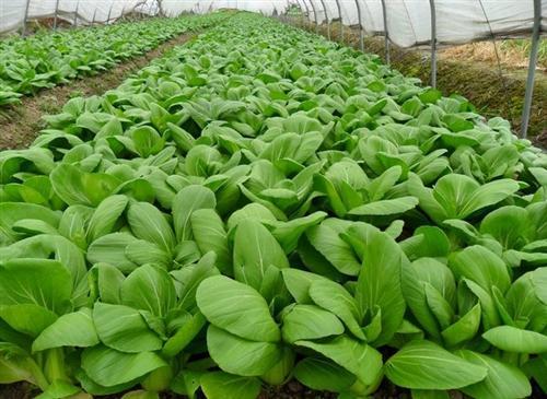 莲湖蔬菜配送_蔬菜配送_袋鼠农产品销售(查看)