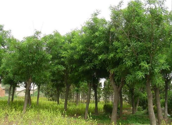 木荷种子/防火林木荷苗木/荷木1年苗供应