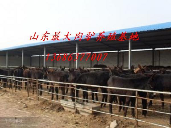 供应河南肉驴养殖场 肉驴价格