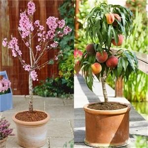 葡萄盆栽-艳永果树