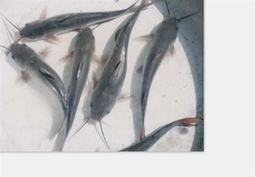 锦鲤鱼苗批发、门头沟区鱼苗批发、渔昌青鱼鲟鱼苗批发(图)