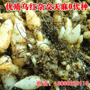 贵州清镇乌红杂交天麻种子哪里有卖多少钱1斤