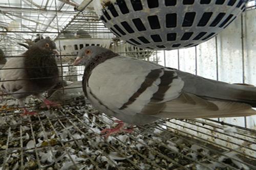 肉鸽 山东中鹏农牧 肉鸽价格