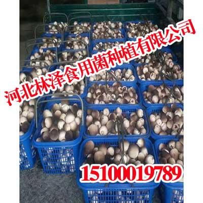 山西草菇,山西草菇就是好吃,林泽食用菌