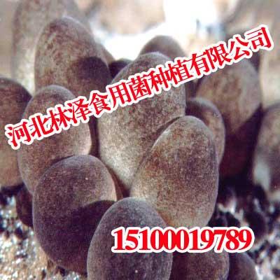 河北草菇,河北草菇实力圈粉,林泽食用菌