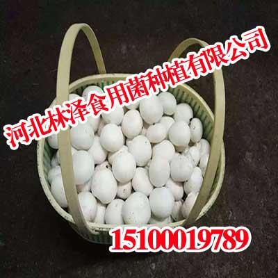 河北双孢菇,河北双孢菇Duang,林泽食用菌