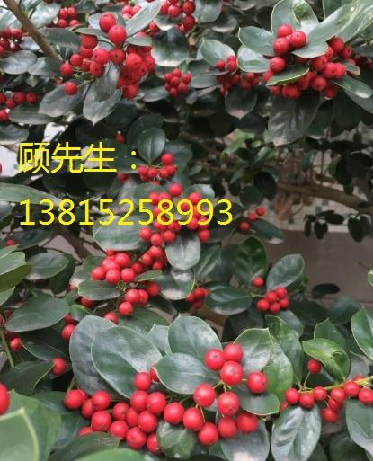 苏州庭院果树苗木基地、苏州私家园林绿化、鸿运果树桩、私家庭院绿