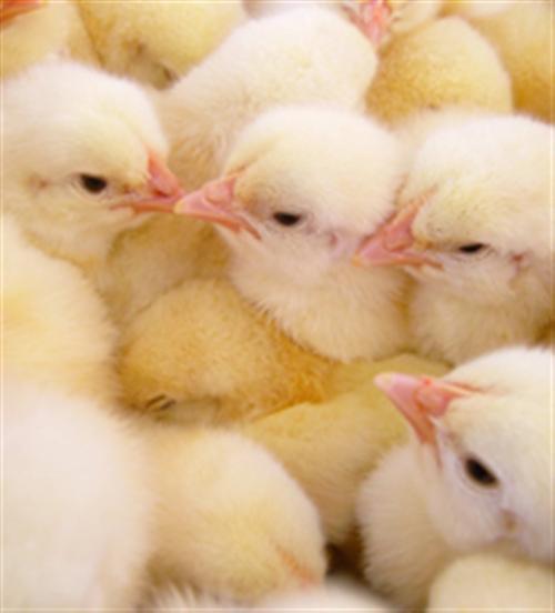 农大3号、蛋多多禽业、农大3号养殖
