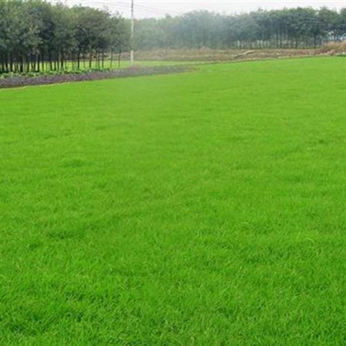 曲靖饲料草种|云南饲料草种|饲料草种厂家