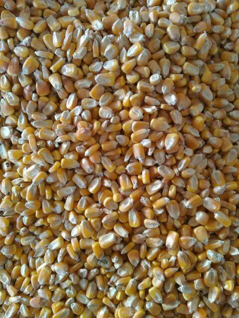 大量供应干玉米