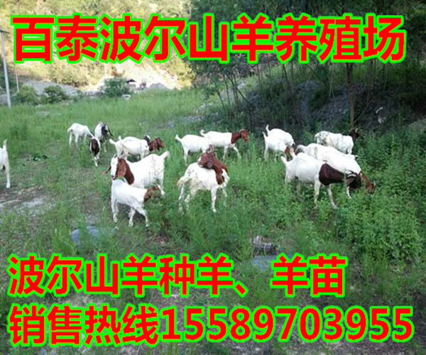 纯种波尔山羊羊苗价格