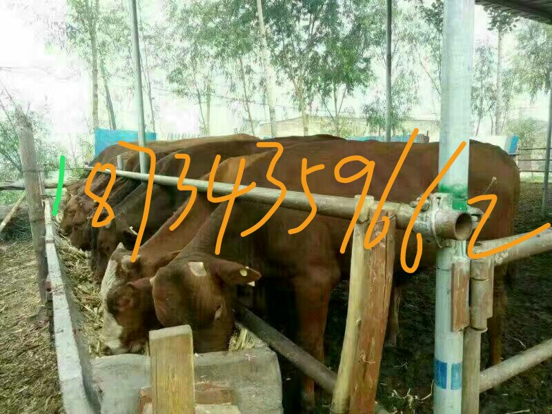 大量供应利木赞牛