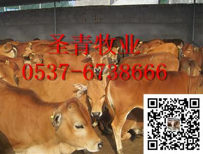 波尔山羊小尾寒羊养殖技术肉牛怎么养殖