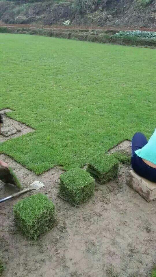 宁德小区楼盘草皮,屏南草坪绿化,福安福鼎草皮种植公司