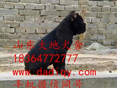 云南卡斯罗价格 卡斯罗幼犬多少钱 意大利纯种卡斯罗价格 卡斯罗幼犬图片 山东大地犬业