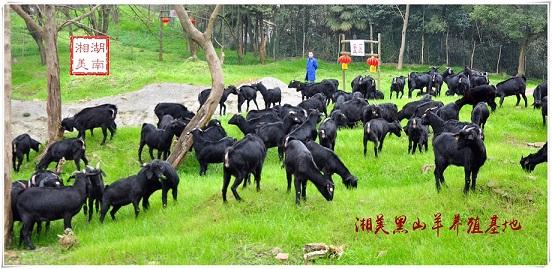 湘美黑山羊,广东湛江基地