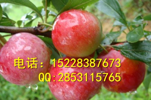 四川脆红李子苗销售